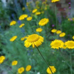 Färberkamille Saatgut (Anthemis tinctoria)