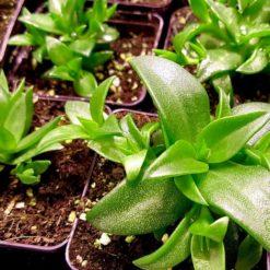 Kanna Pflanze