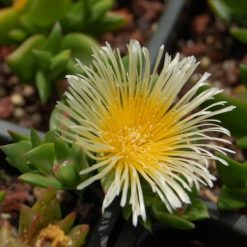 Kanna Blüte (Sceletium tortuosum)