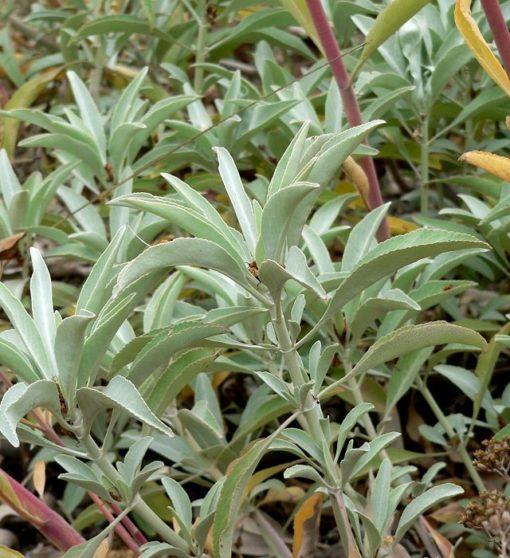 Räuchersalbei (Salvia apiana) Blätter