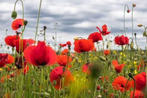 Klatschmohn Blüten