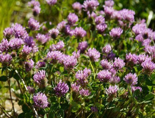 Rotklee (Trifolium pratensis)