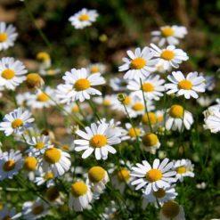 Margarite Blüten