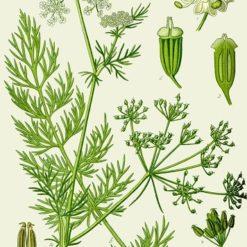 Carum carvi Illustration