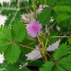 Mimose Samen
